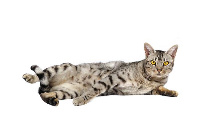 Ocicat Male Cat