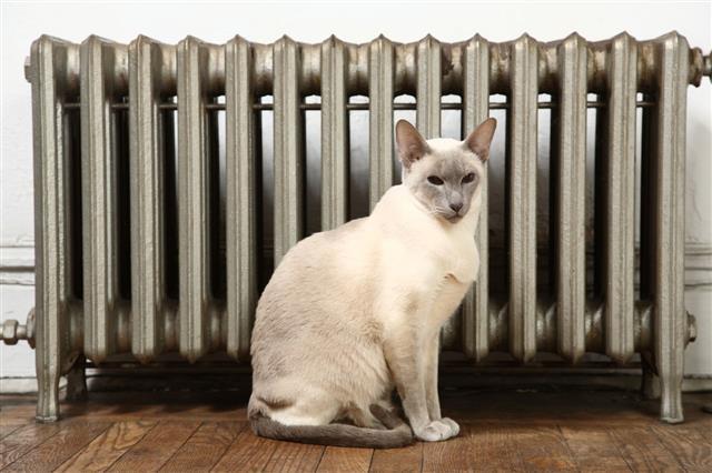 Siamese Cat Sitting By Radiator