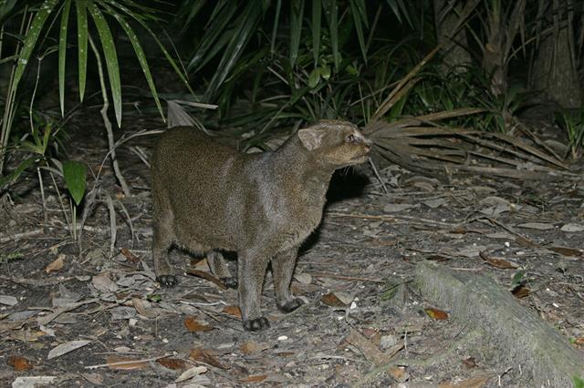 Jaguarundi Herpailurus Yaguarondi