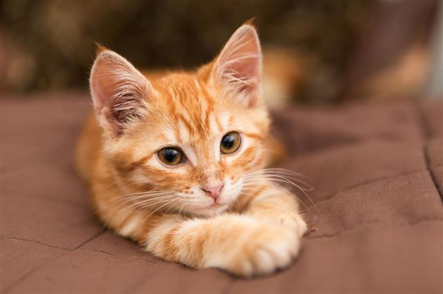 Small Orange Kitten