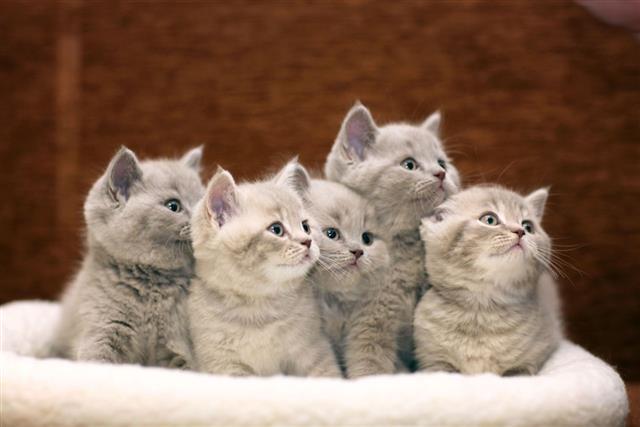 Gray British Kittens