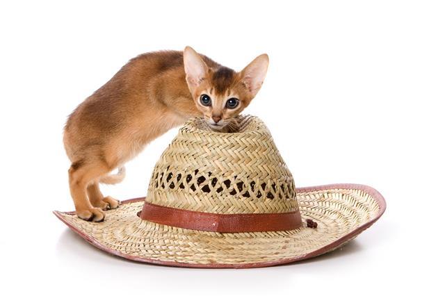Ginger Abyssinian Kitten