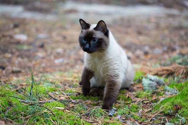 Siamese Cat Walking In Forest