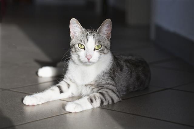 Tabby Cat Staring