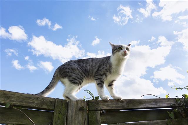 Tabby Cat Walking On Wooden Fence