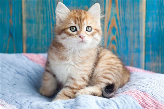 Red Purebred Siberian Kitten