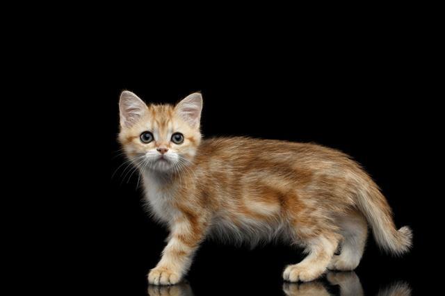 Furry British Breed Kitty