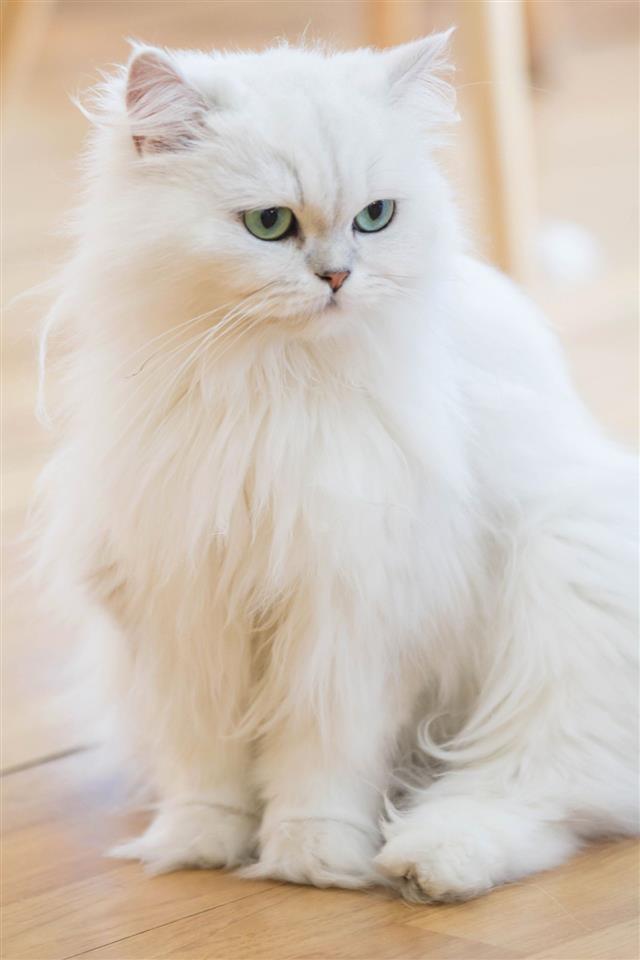 White Persian Cats