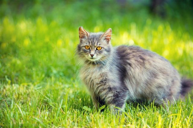 Siberian Cat Relaxing
