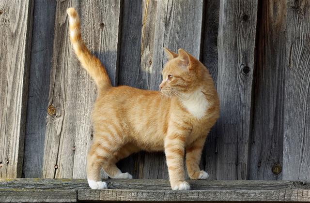 Small Ginger Tabby Cat