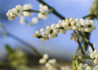 Mistletoe Berries Macro