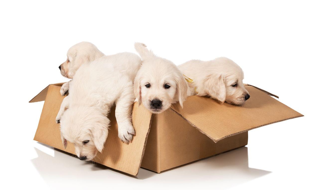 Enchanting facts about the german shepherd golden for Golden retriever puppies information