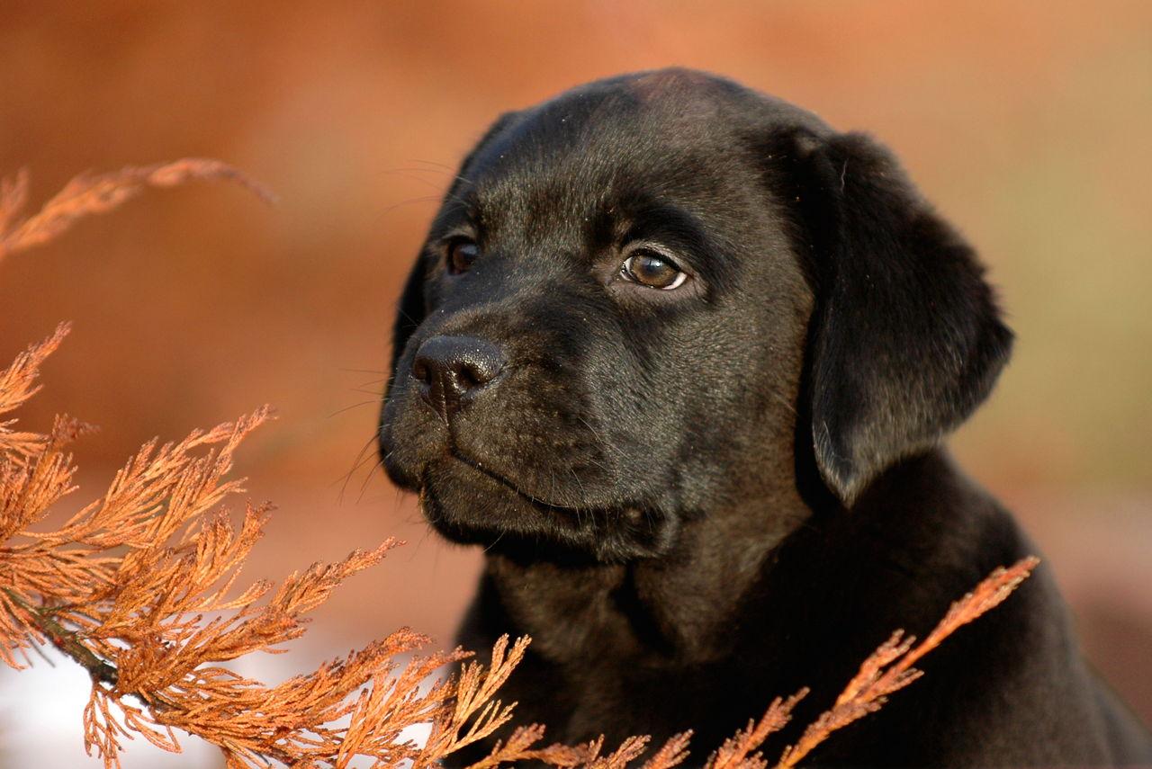 Buy Black Lab Puppies In Yukon Canada
