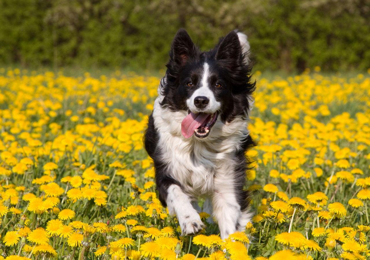 Dog Heat Symptoms