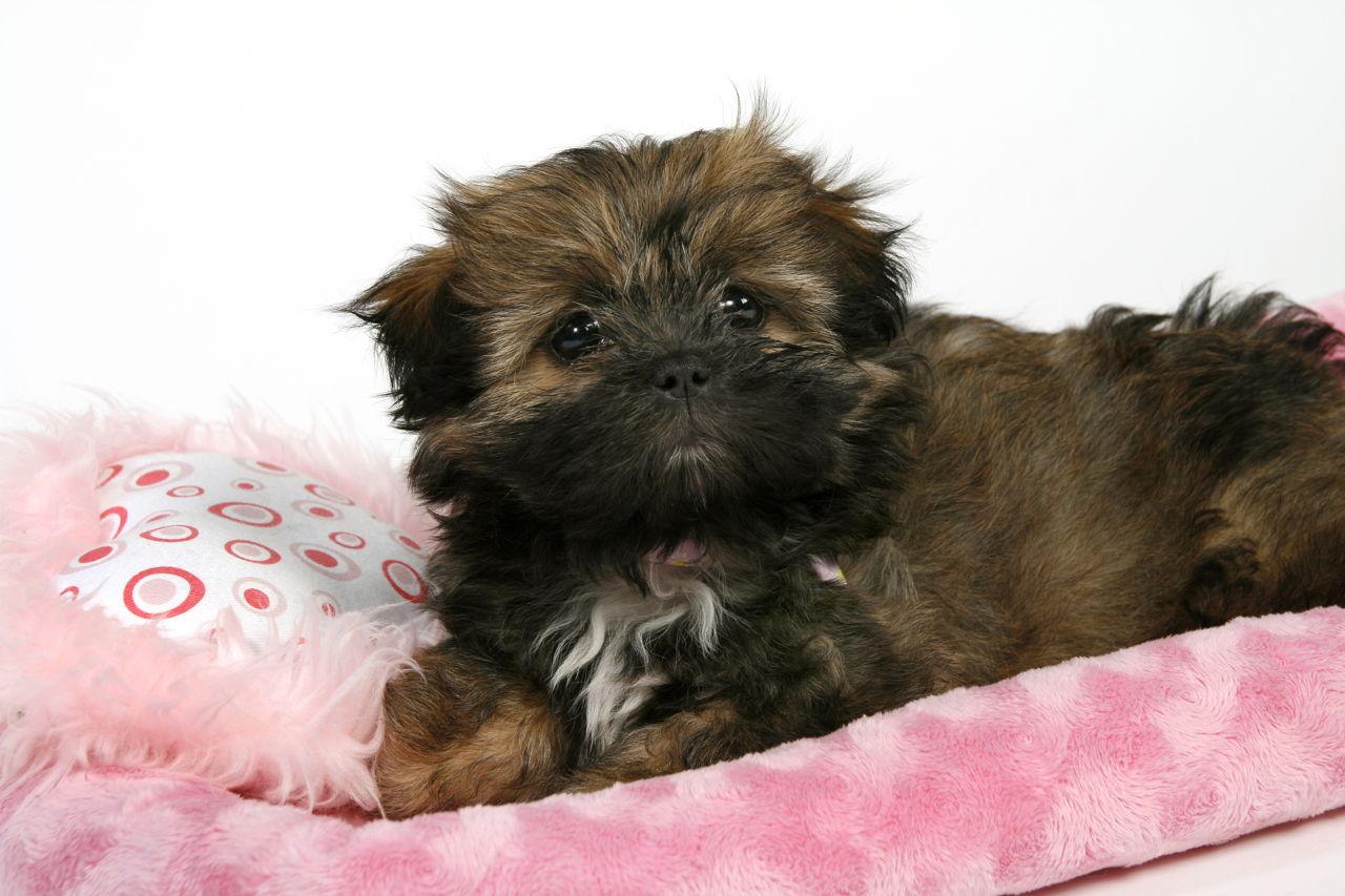 Cute Shih Tzu Puppies Cost