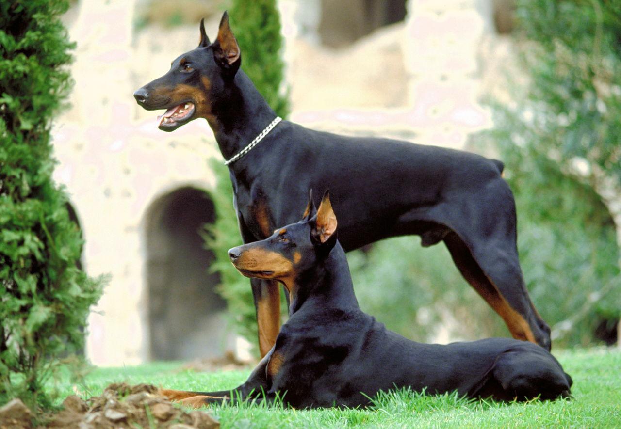 Dog Indian Dog Names For Male Doberman