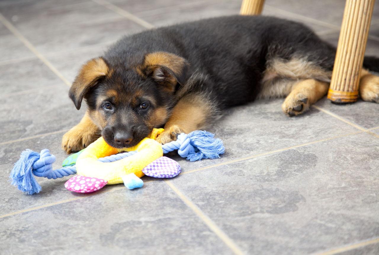 german shepherd mix puppies for sale lancaster puppies - HD1280×860