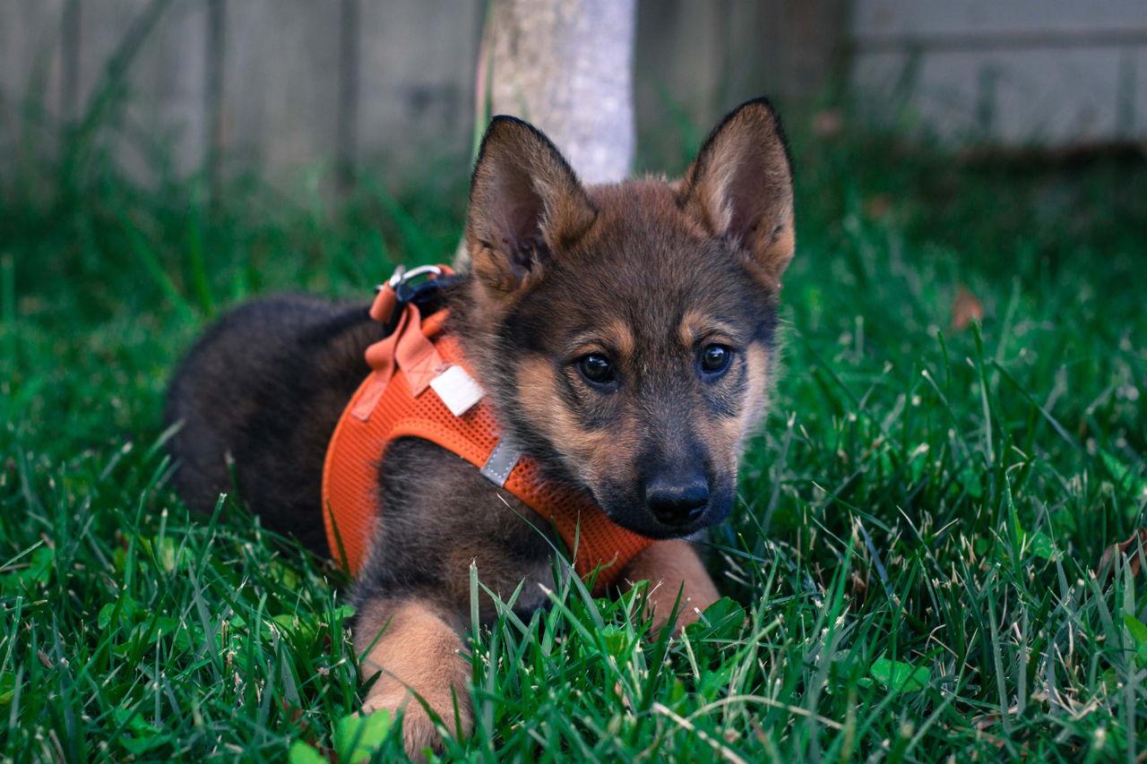 Stunning male German Shepherd puppy for sale   Scotland UK