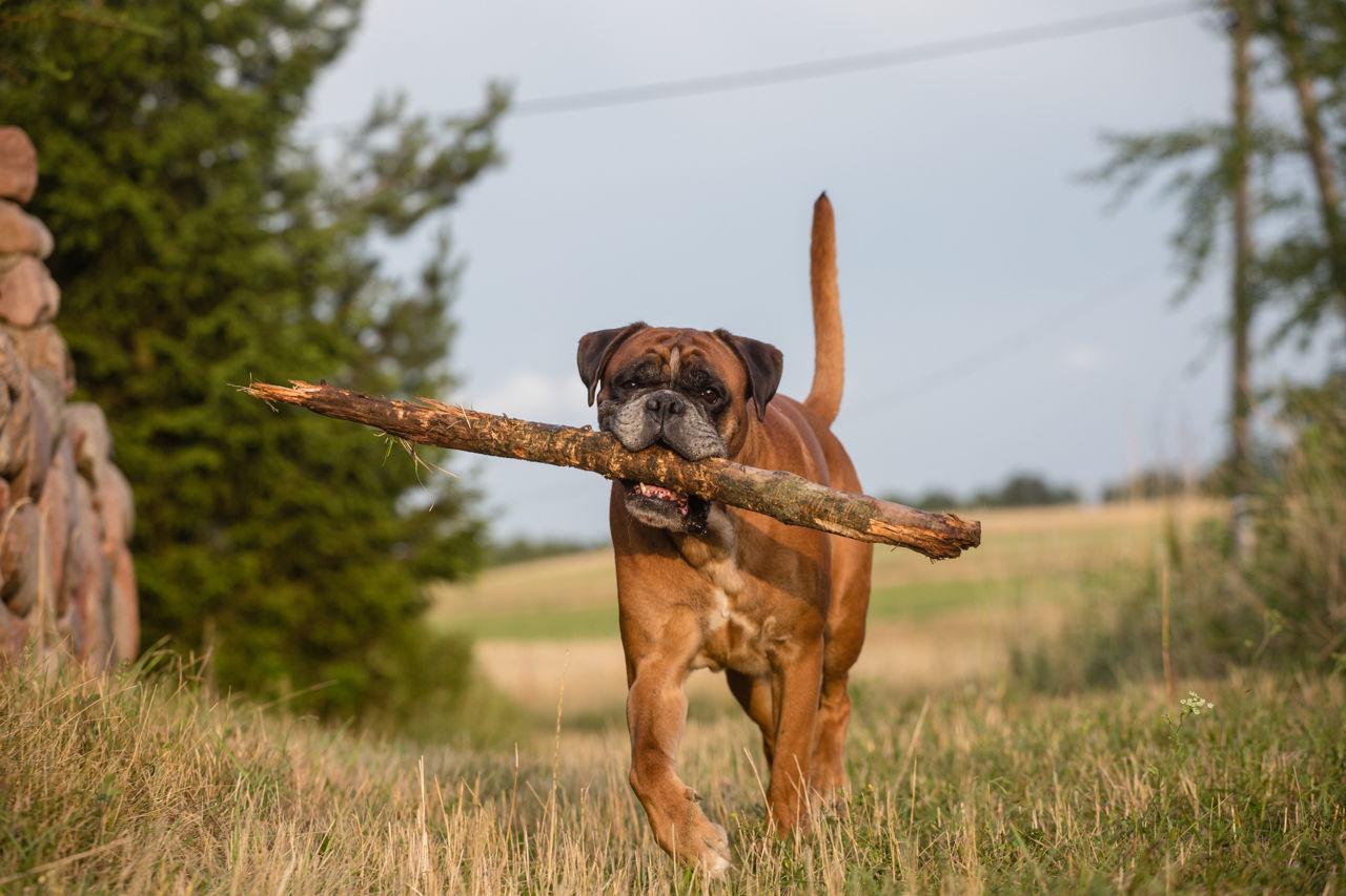 Good Temperament Big Dogs