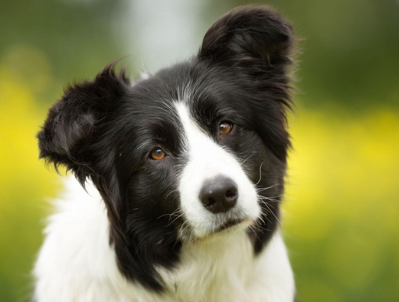 Dogs Like Border Terrier
