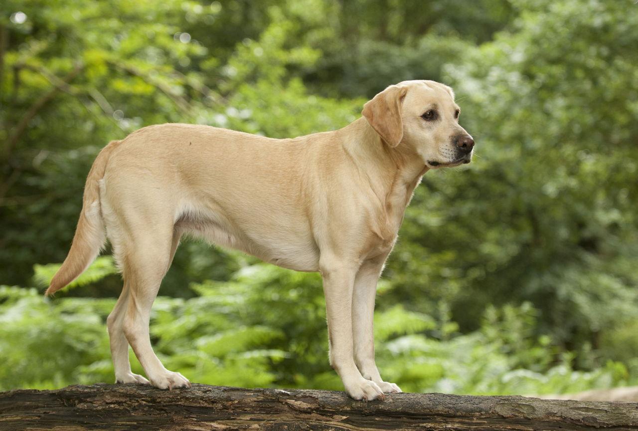 Pictures Of Black Labrador Retriever Dog