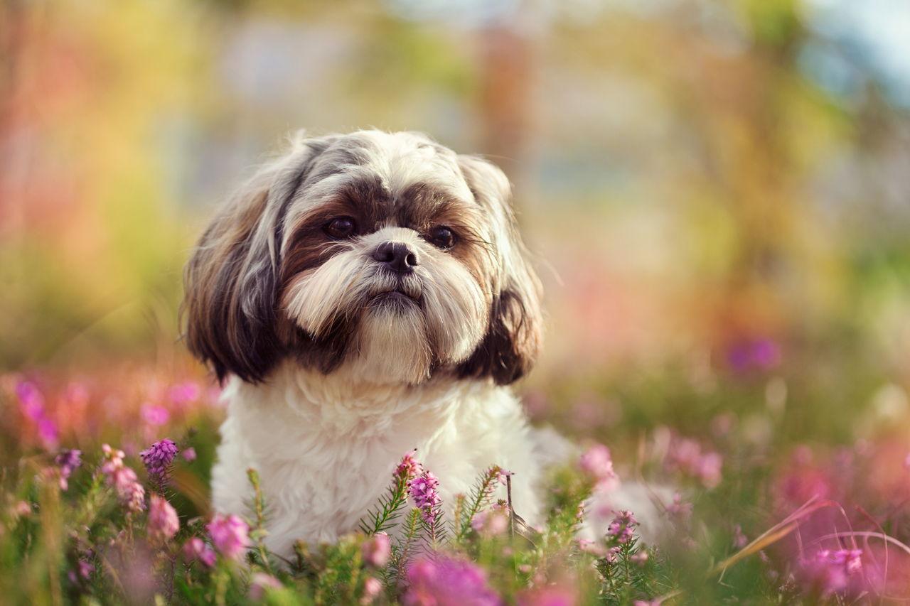 Most Popular Hypoallergenic Non Shedding Dog Breeds