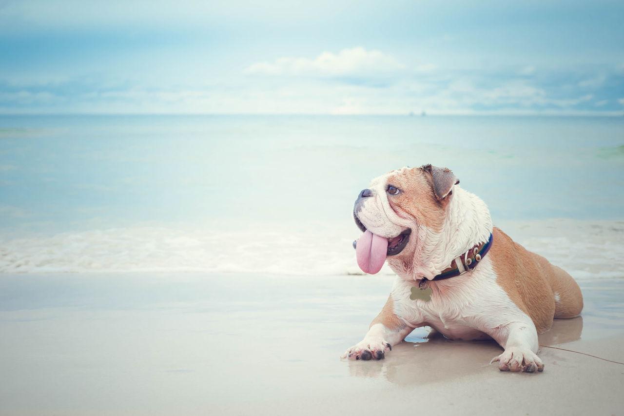 Bulldog Allergies