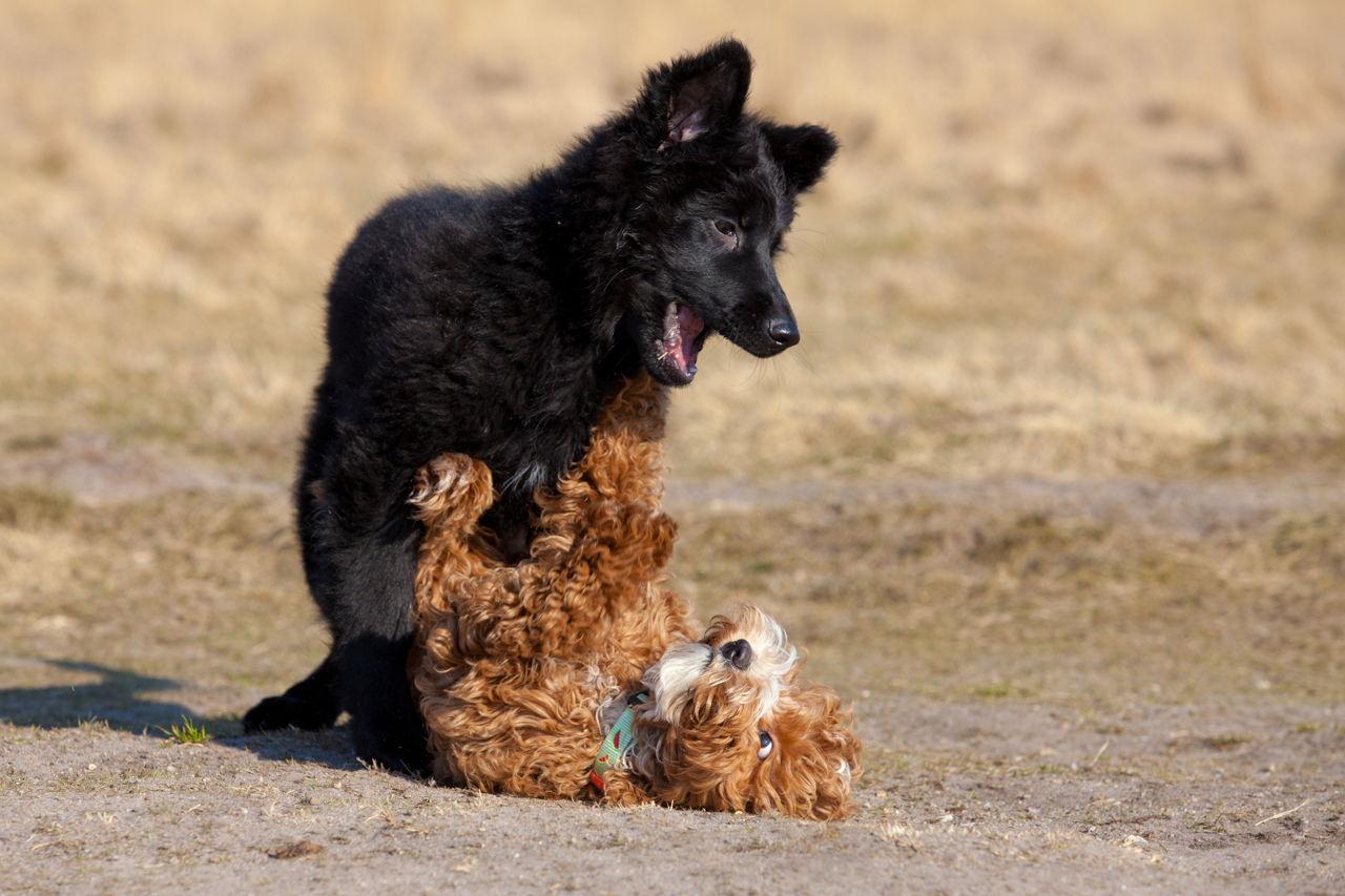 Miniature German Shepherd Dog