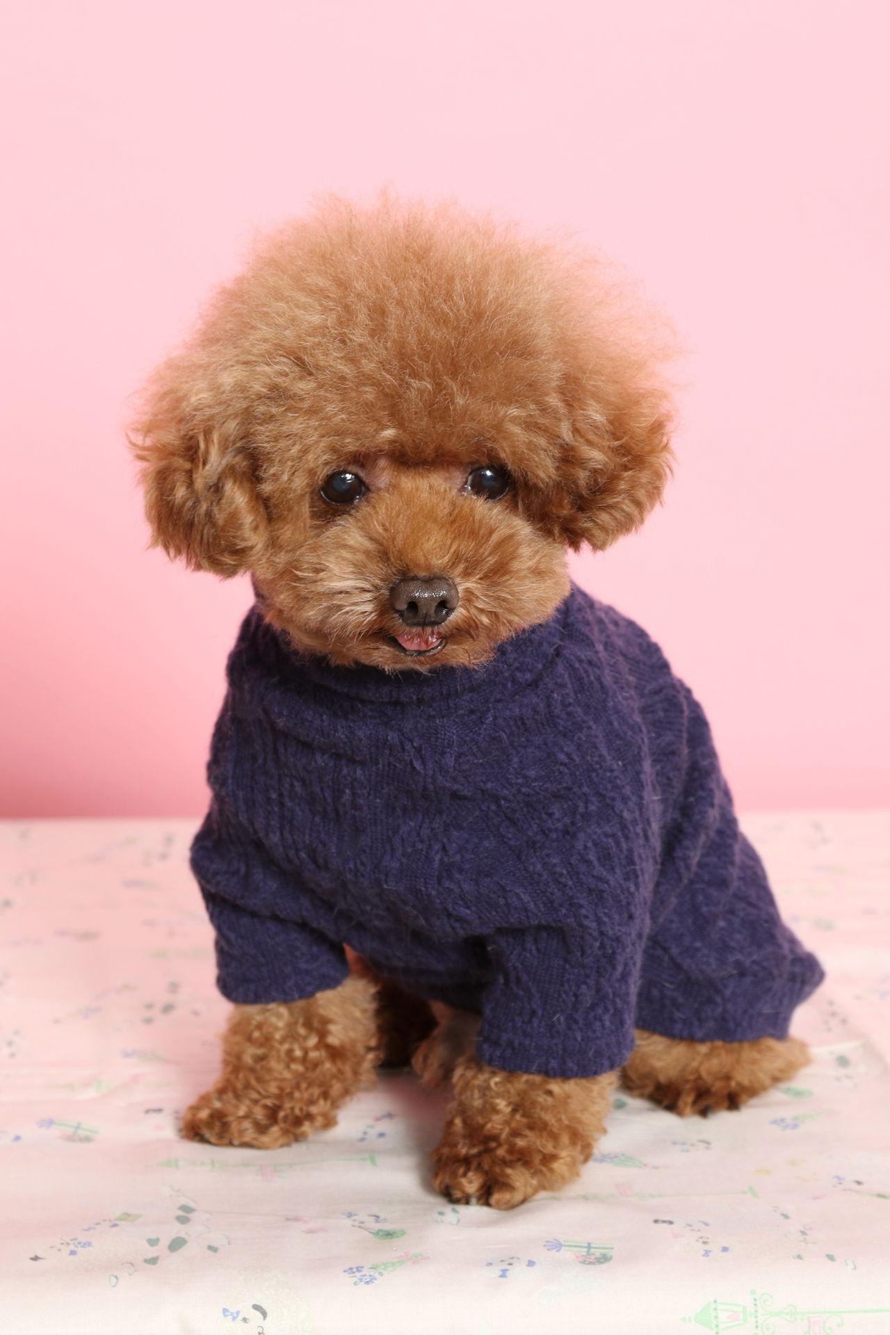 Toy Teddy Bear Dog Breed Wow Blog