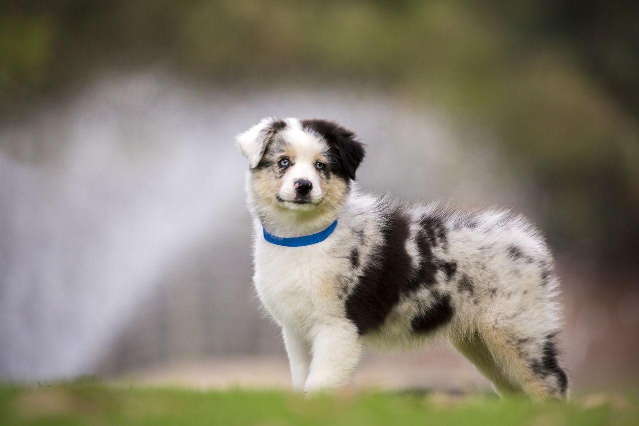 labrador australian shepherd