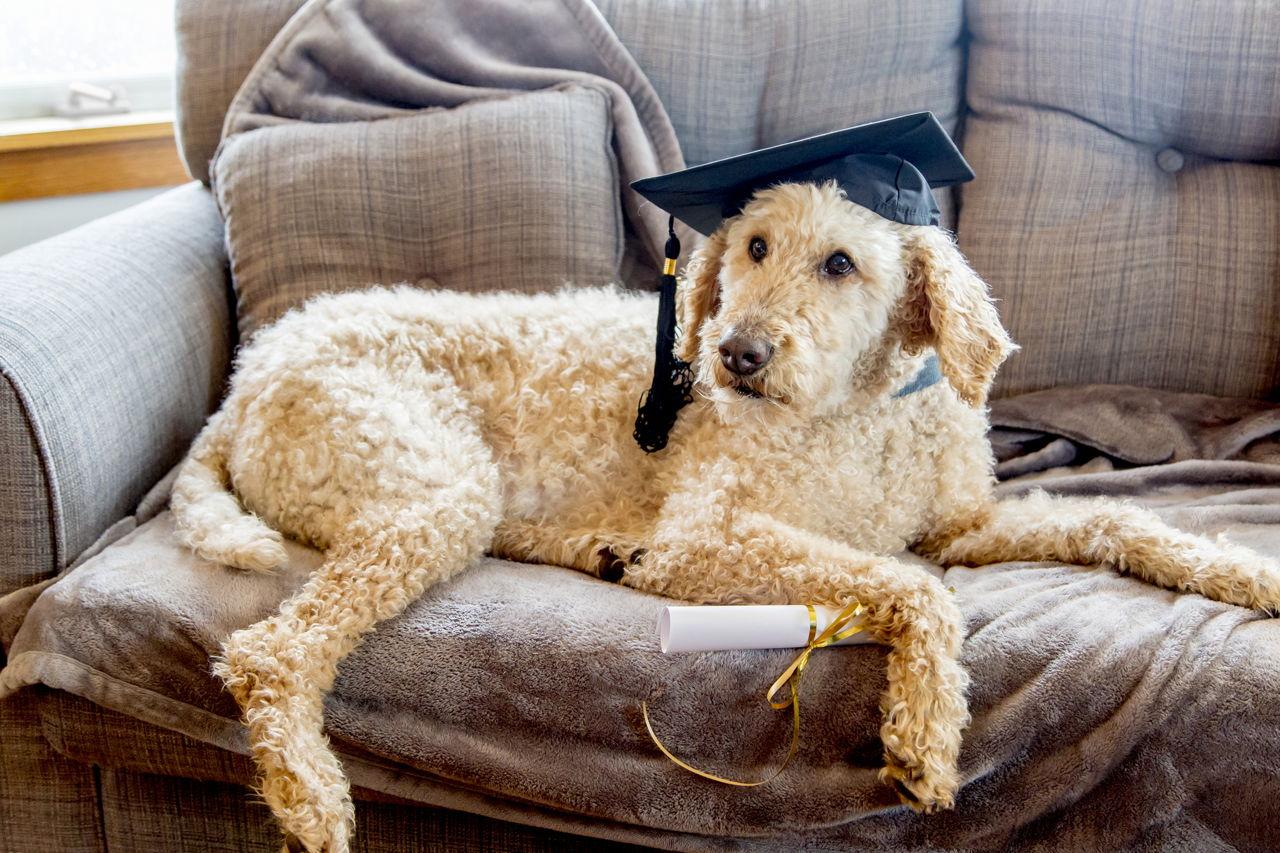 Fantastic Graduation Cap Black Adorable Dog - 1280-678323862-poodle-dog-wearing-graduation-cap  Best Photo Reference_671084  .jpg