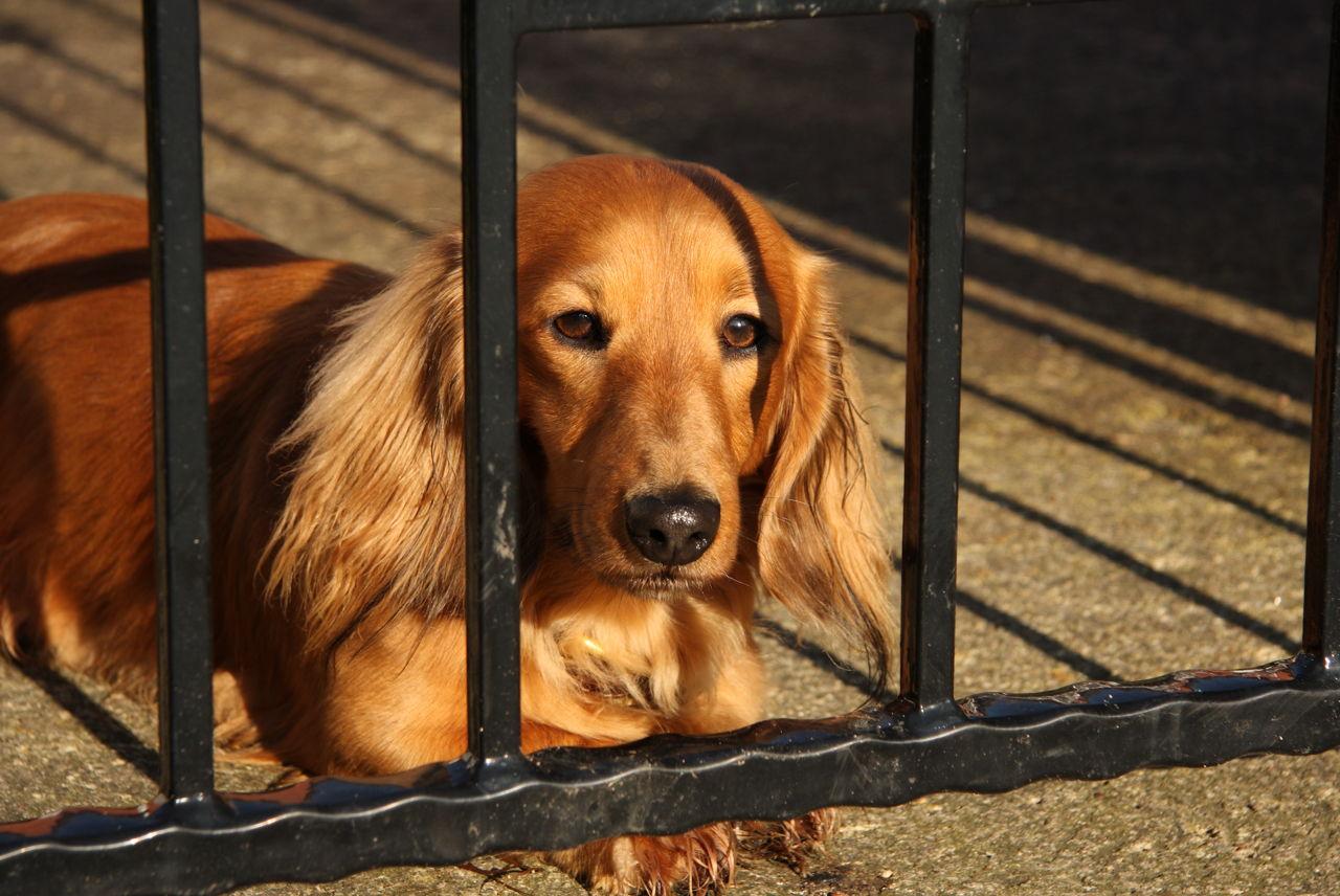 canine histiocytoma