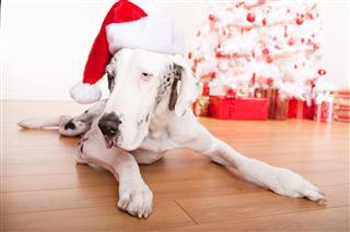 Christmas Dog Portrait