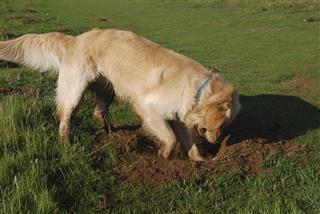 Golden Retriever Digging A Hole