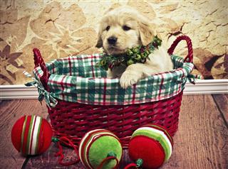 Golden Retriever In Christmas Basket