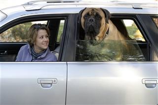 Woman And Bull Mastiff In Car