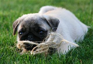 Pug Puppy In Grass