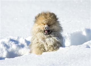 Pomeranian Puppy Having Fun In Snow