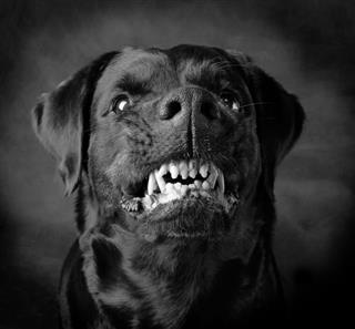 Dog Of Breed Rottweiler