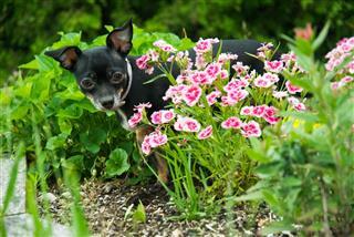 Chihuahua Puppy In Garden