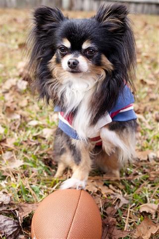 Chihuahua Puppy Dog Playing Football