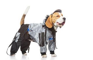 Beagle Dog Isolated