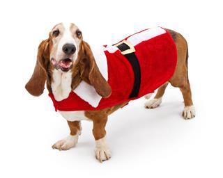 Basset Hound Wearing A Santa Suit