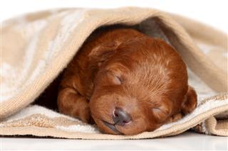 Poodle Puppy Sleeps In Blanket