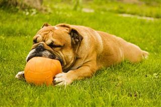 Bulldog Ball Game On Green Lawn