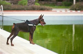 Guard Dog Doberman