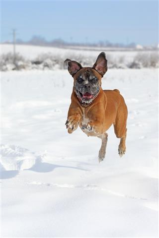 Playful Boxer Jumping