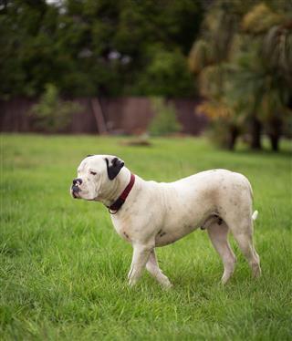 American Bulldog Standard Type