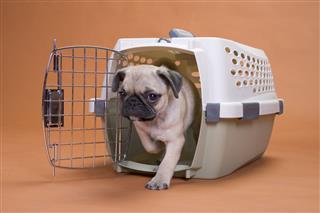 Pug Dog Leaving A Plastic Crate