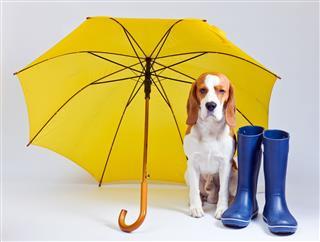Unhappy Dog Under Yellow Umbrella